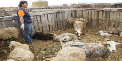 cobertizo ovino goldensheep 187 blog archive 187 la seguridad del reba 241 o ovino