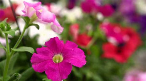 Flores Maxy flores coloridas de inverno