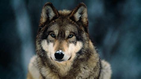 imagenes terrorificas de lobos caracter 237 sticas f 237 sicas de los lobos im 225 genes y fotos