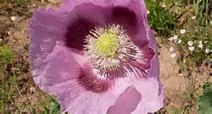 fiore oppio oppio papavero fiori di co come si coltiva l oppio