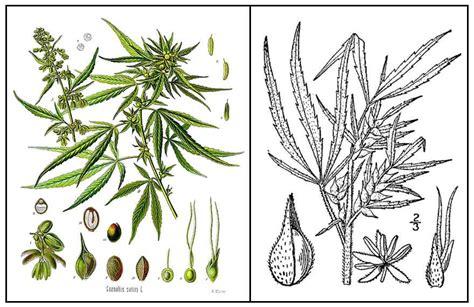 canapé indien marihuana cannabis marijuana ye ma philippine