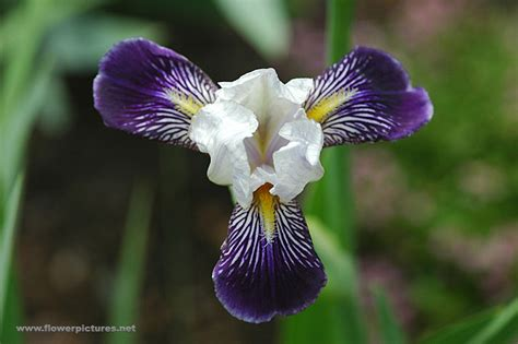 Pictures Of Gardens And Flowers by Iris Flower Gardens