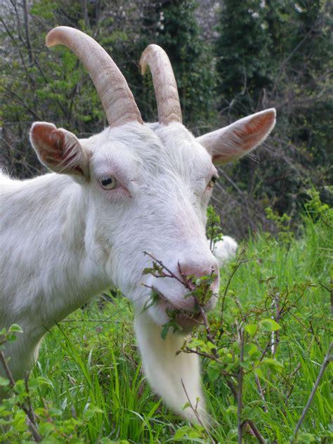 giardiniere in affitto nuove ricette anticrisi usare le capre come giardinieri