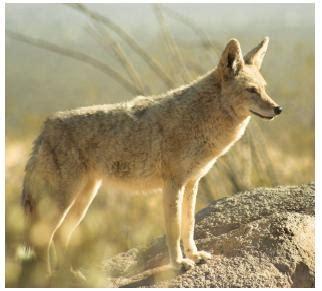 coyote in my backyard coyote in my backyard in south aurora ontario