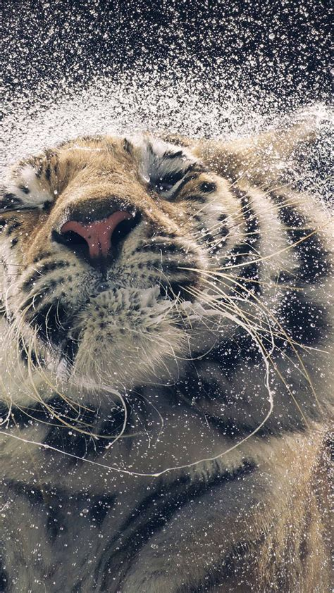 wallpaper tiger drops cute animals funny animals