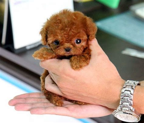 micro poodle puppy 5 smallest puppies you seen the pet s mart