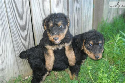 puppies for sale hton roads airedale terrier puppies airedale terrier puppy for sale near tulsa oklahoma