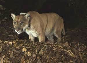 Chief Hybrid Panthera mountain leaves refuge l a house