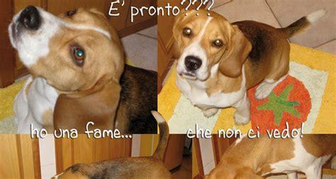 beagle alimentazione youbeagle l alimentazione migliore per il tuo