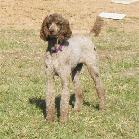 poodle puppies for sale mn standard poodle puppies for sale