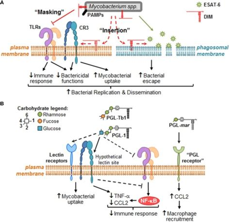interaction of pattern recognition receptors with mycobacterium tuberculosis putative molecular mechanisms through which dim and pgl