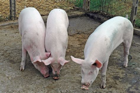 alimentazione maiali contadino divorato dai maiali della sua fattoria