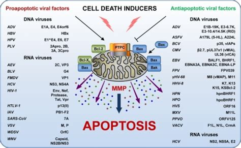 How To Detox Apoptotic Nuclear Antigen by Of Mitochondrial Membrane Permeabilization Mmp