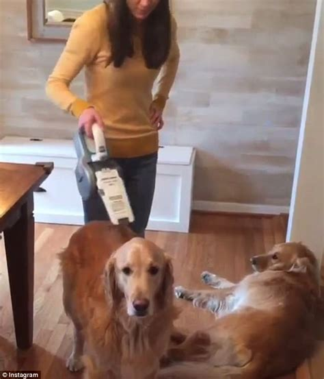 do golden retrievers their owners adorable shows two pups who to be vacuumed daily mail