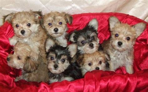 yorkies for sale in manitoba best 25 morkie puppies ideas on small puppies puppies and puppies