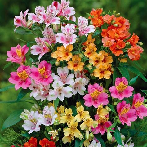 alstroemeria colors buy wholesale alstroemeria seeds from china