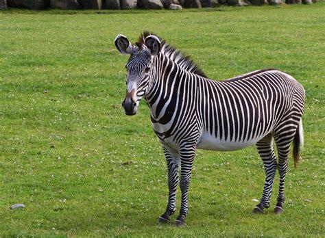 imagenes animales jpg file grevys zebra jpg wikimedia commons