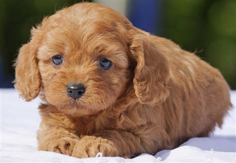 cavoodle puppies for sale chevromist kennels puppies