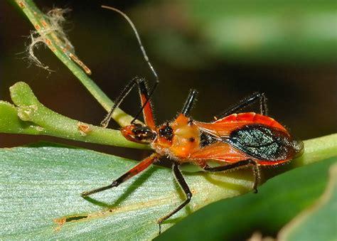 assassin bug tattoo orange assassin bug bugs bugs bugs pinterest
