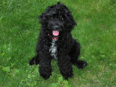 ozzy doodle puppy doodles puppys and on