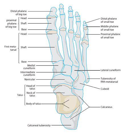 toe diagram toe phalanges bones of toes phalanges of toes toe bones