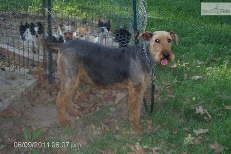 airedale puppies for sale in michigan airedale terriers for sale picture and images