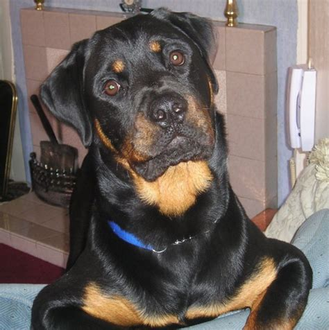 rottweiler pictures with rottweiler photos pictures rottweilers page 9 breeds picture