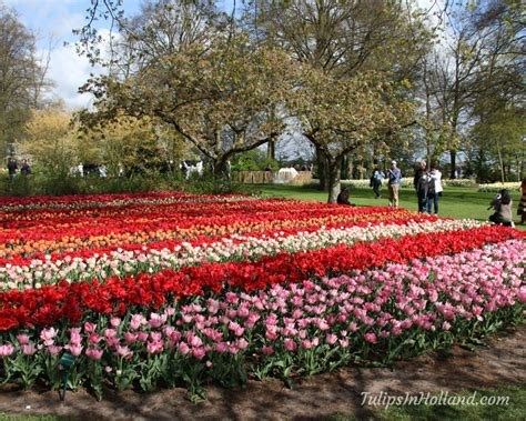 Tulip Garden Amsterdam Tulips In Holland Flower Garden In Amsterdam