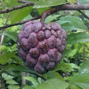 Tanaman Jadi Buah Sawo Mentimun jual tanaman jadi buah srikaya merah dacochi