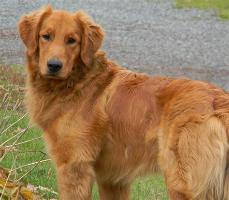 what to about golden retriever puppies golden retriever puppies