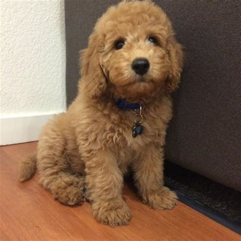 golden retriever poodles bentley the goldendoodle puppies daily puppy