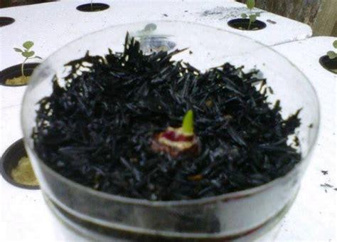Benih Bawang Merah Hidroponik cara menanam bawang merah hidroponik bibitbunga