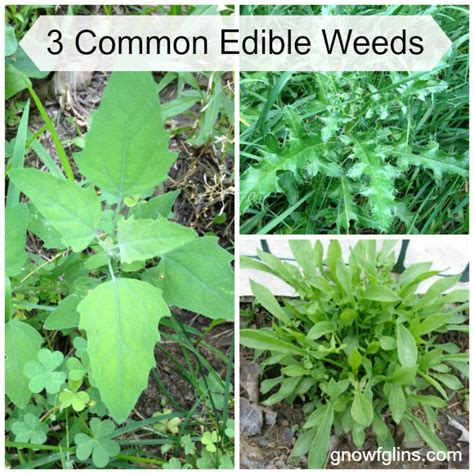 common backyard plants 3 common edible weeds