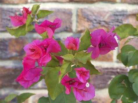 potatura bouganville in vaso coltivazione bouganville fiori coltivare piante
