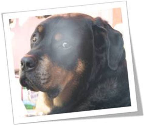 rottweiler rescue oklahoma rottweiler rescue everything you need to before you decide
