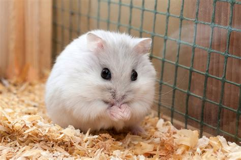 Hamster Hybrid Violet Eye useful tips on how to care for your pet djungarian hamster
