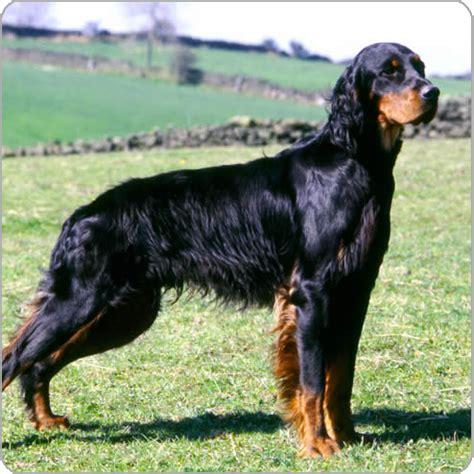 gordon settee gordon setter dog breeds purina australia