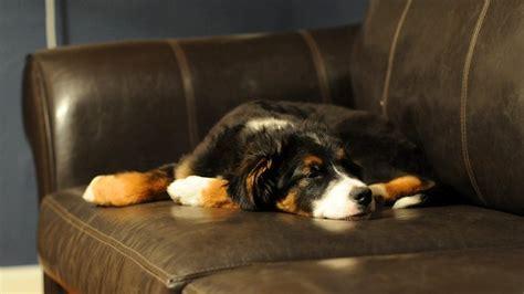 perro piso peque o consejos para que el perro se adapte a un piso peque 241 o