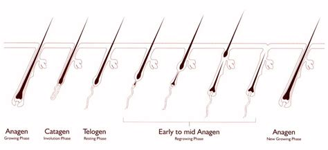 Hair Shedding Cycle by Human Hair Shedding Cycle Indian Remy Hair