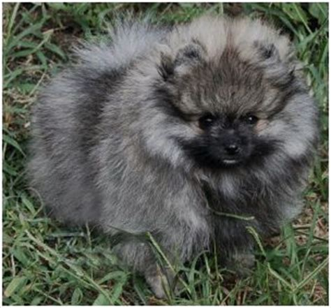 wolf pomeranian pomeranian wolf animals dogs and puppies
