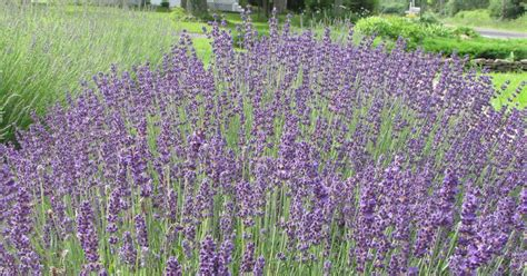 lockwood lavender farm wordless wednesday