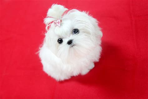 teacup maltese puppy top quality teacup maltese puppy can you believe 5months o flickr