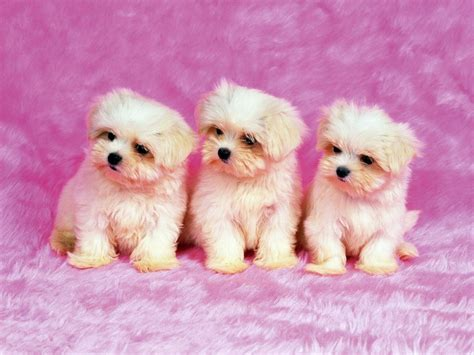 cute dogs wallpapers download free cute dogs wallpapers for desktop the