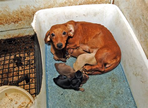 signs of a puppy mill puppy mill dogs pet stores and puppy mills don t any better