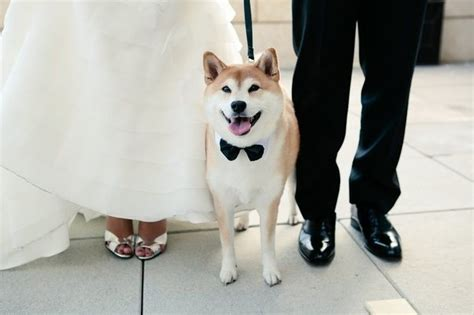 What is it like raising a Shiba Inu compared to other dog
