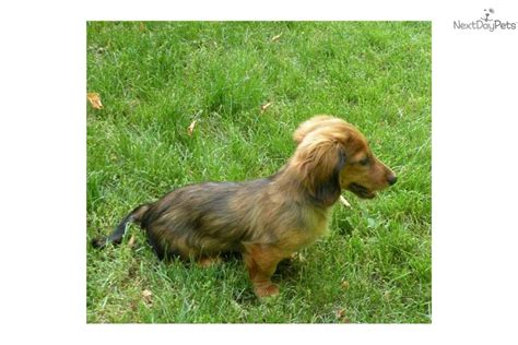 mini dachshund puppy rescue dachshund mini puppy for sale near battle creek michigan 8e65e17b 4451