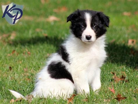 miniature collie miniature border collies www imgkid the image kid has it