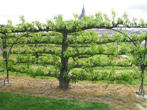 Espaliered Tree French Potager Garden Le Jardinier F 226 Ch 233 Fruit Tree Garden Layout
