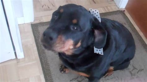 gets into trash rottweiler gets busted getting into trash