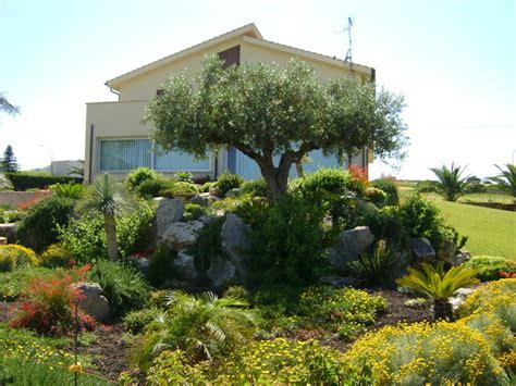 giardino con ulivo foto terrazzamenti con ulivo